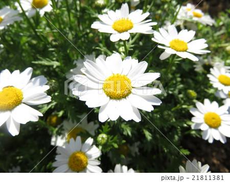 白い花 21811381