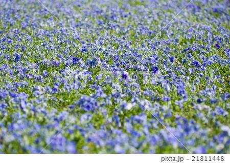 Blue flower field 21811448