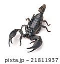 Scorpion Pandinus imperator 21811937