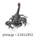 Scorpion Pandinus imperator 21811952
