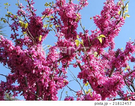 ハナズオウは春、葉が出る前に豆科っぽい紫の花が、枝や幹から直接咲く。蘇芳色はなかなか綺麗だ。 21812457