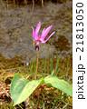 カタクリの花(1) 21813050