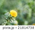 咲く 花 開花の写真 21814738