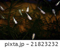 ニホンメダカ 魚 淡水魚の写真 21823232