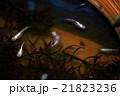 ニホンメダカ 魚 淡水魚の写真 21823236