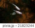 ニホンメダカ 魚 淡水魚の写真 21823244