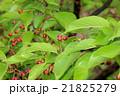 河津桜の若葉と実 21825279