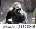 ゴリラ 哺乳類 類人猿の写真 21826046