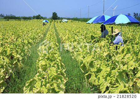 農業_たばこ畑_葉タバコの収穫風景_鳥取県北栄町 21828520