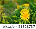 春の野原の咲くタンポポのクローズアップ 21828737