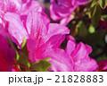ピンクのツツジ 21828883