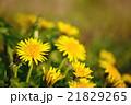 春の野原に咲くタンポポのクローズアップ 21829265