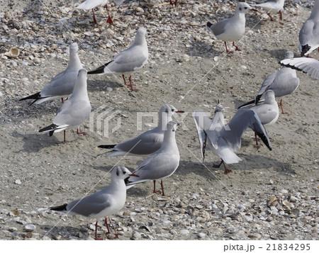 砂浜のカモメ 21834295