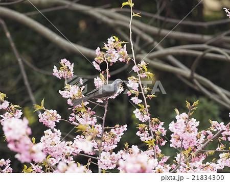 桜とヒヨドリ 21834300