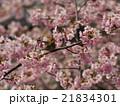 桜とメジロ 21834301