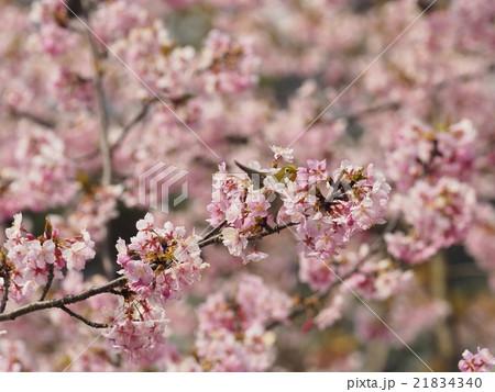 桜とメジロ 21834340