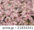 桜とメジロ 21834341