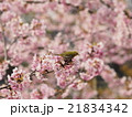 桜とメジロ 21834342