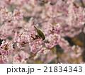 桜とメジロ 21834343