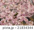 桜とメジロ 21834344