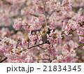 桜とメジロ 21834345
