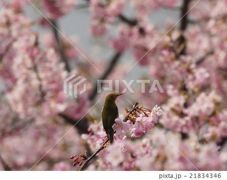 桜とメジロ 21834346