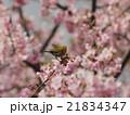 桜とメジロ 21834347