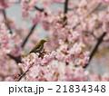 桜とメジロ 21834348
