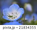 ネモフィラ キリギリス 幼虫の写真 21834355