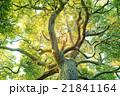 風景 見上げる 木の写真 21841164