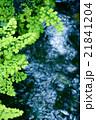 水辺のシダ 21841204