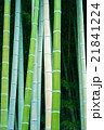 竹 竹林 林の写真 21841224