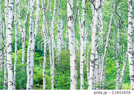 白樺の森の写真素材 [21841656] ...