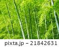 竹 竹林 林の写真 21842631