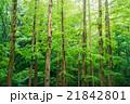 メタセコイア 森林 風景の写真 21842801