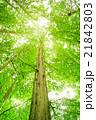 メタセコイア 森林 風景の写真 21842803