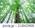 メタセコイア 森林 風景の写真 21842906
