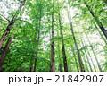 メタセコイア 森林 風景の写真 21842907