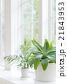 窓辺に置かれた観葉植物のイメージ 21843953