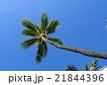 常夏 ヤシの木 ヤシの写真 21844396