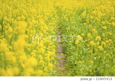 菜の花の散歩道 21845413