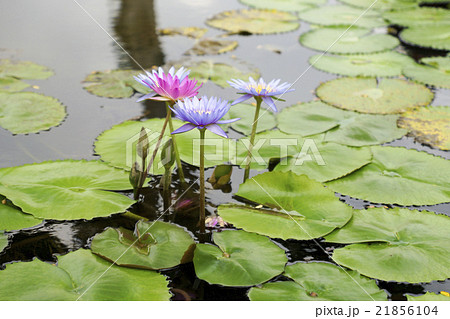 シンガポール 蓮の花 21856104