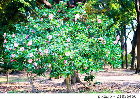 長居植物園・乙女椿の立派な木(大阪の風景) 21856460