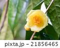 長居植物園・キンカチャ(大阪の風景) 21856465
