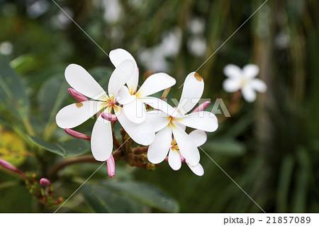 シンガポール 南国の白い花 21857089