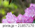 箱根・強羅公園のしゃくなげ(神奈川県の風景) 21857170