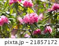 箱根・強羅公園のしゃくなげ(神奈川県の風景) 21857172