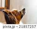 パピヨン 犬 哺乳類の写真 21857257