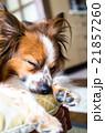 パピヨン 犬 哺乳類の写真 21857260