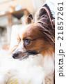 パピヨン 犬 哺乳類の写真 21857261